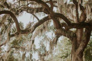 Oak tree texture